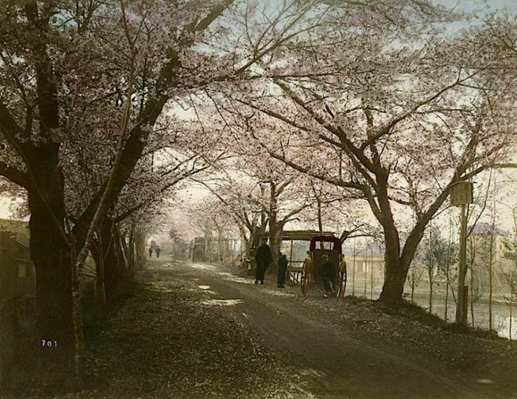 Cherry flower street, Tokyo, 1880s or 90s, by Kimbei Kusakabe, via The New York Public Library Commons on flickr