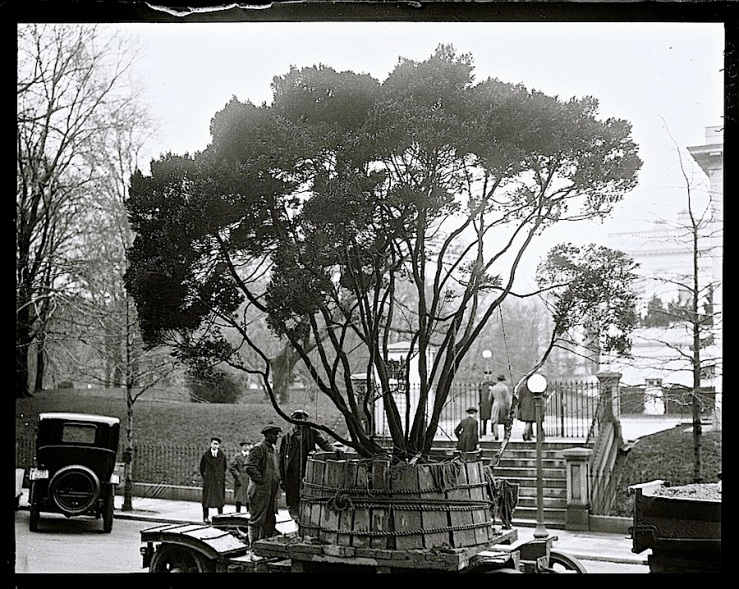 White House tree delivered, Mar. 1922, via Library of Congress