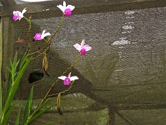 Orchids against shade cloth.