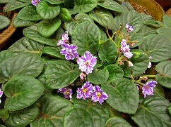 African violets, of course.