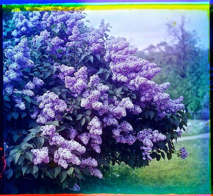 Lilacs, between 1905 and 1915, by  via Library of Congress