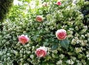 Roses and jasmine at Villa Aurelia.