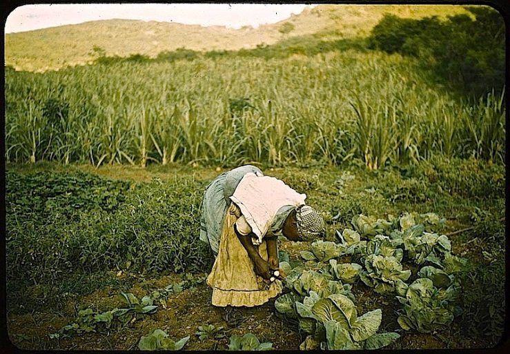 Puerto Rico cabbage garden, ca. 1941, J. Delano, Library of Congress