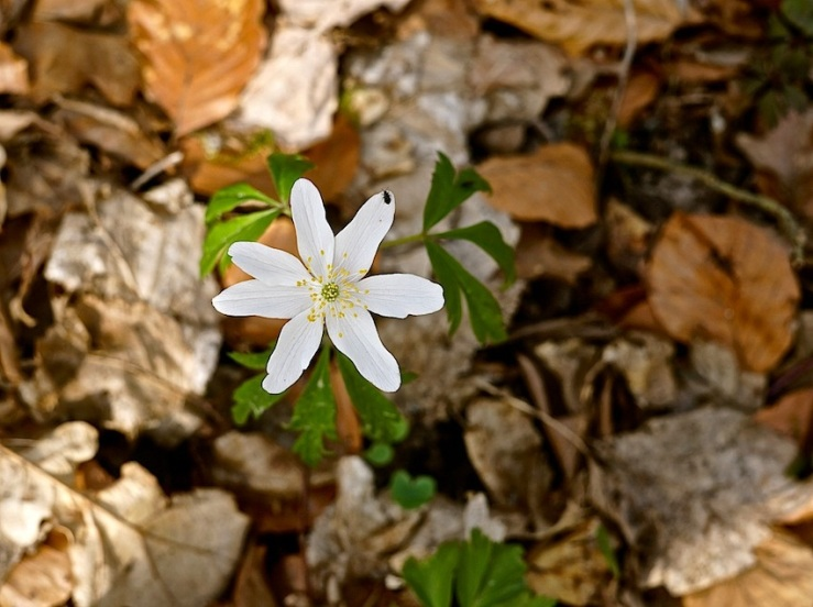 Stuttgart woods with wood anemones, by enclos*ure