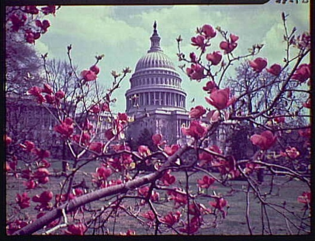 Magnolias at the Capitol, Library of Congress