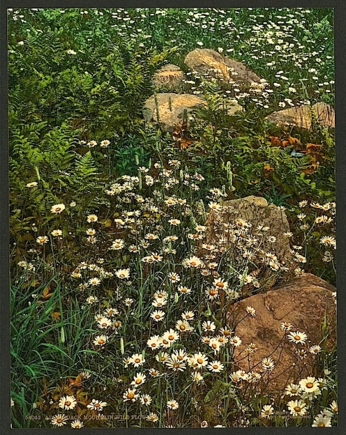 Adirondack flowers, photochrom, Library of Congress