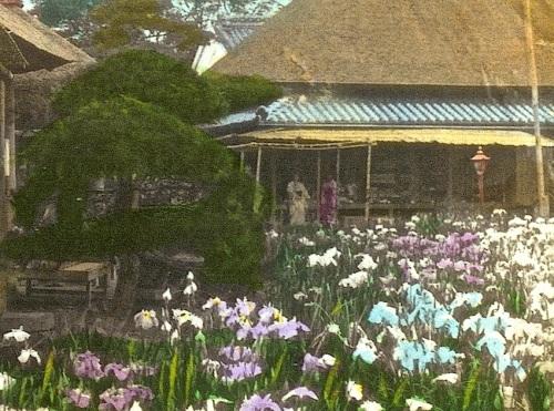 Japanese Iris Garden, cropped 2