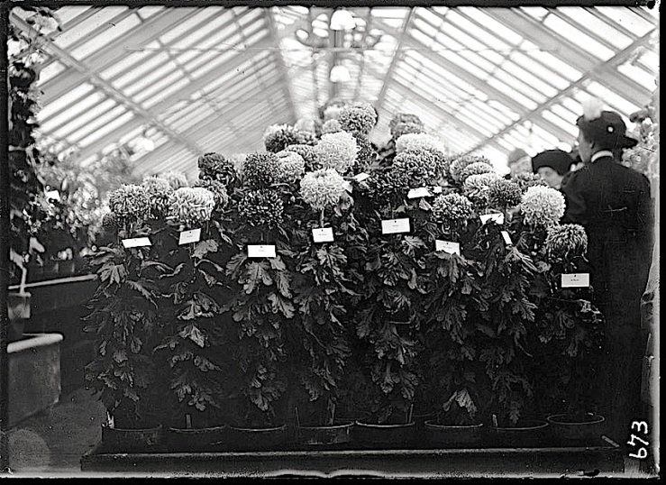 Dahlias at Agricultural Show, 1911, Library of Congress