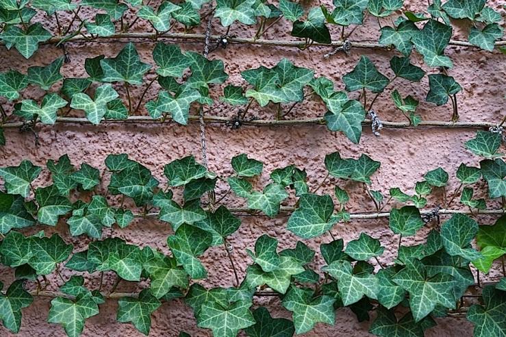 Esslingen, Germany, espaliered ivy, by enclos*ure