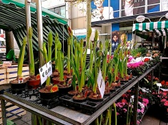 I meant to buy a pot of two of these amaryllis, but the seller had closed by the time I walked back that way -- which is just as well; I could never have carried them and the little tree. A good reason to go back.