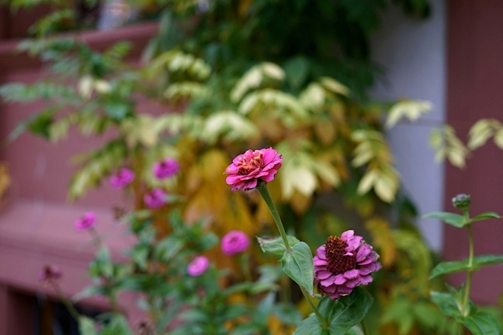 A few zinnias holding on.