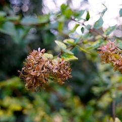 Hydrangea paniculata.