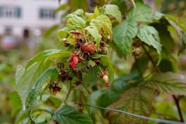 Last berries.