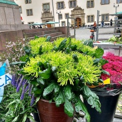 A potted lime green Chrysanthemum.