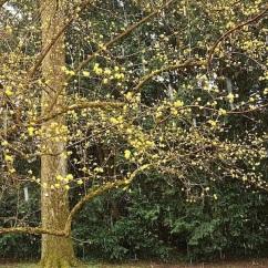 Cornus officinalis.