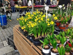 Potted forced Narcissus and Dutch hyacinths.