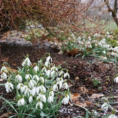 Of course, there were snowdrops.