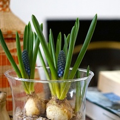 Muscari bulbs, Stuttgart, March 5, 2016, enclos*ure