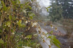 Lonicera x purpusii 'Winter Beauty'. . .