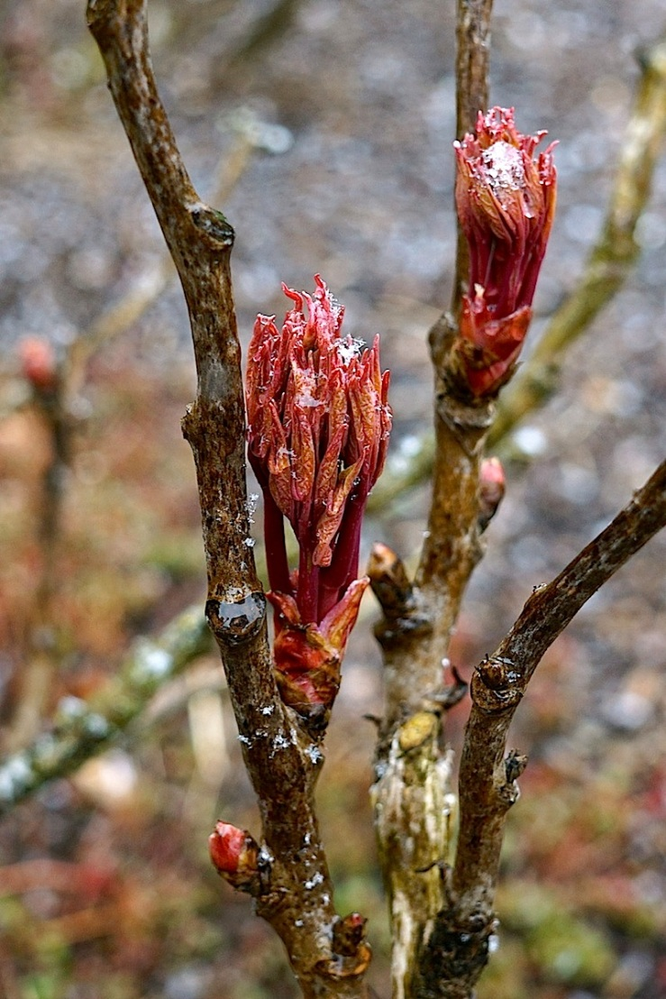 Peony leaf buds in snow, March 2016, Stuttgart, enclos*ure