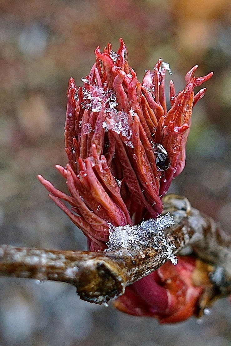 Peony's leaf buds in snow, March 2016, Stuttgart, enclos*ure