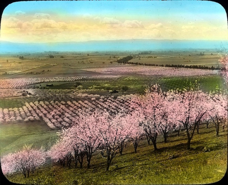 Prune orchard, California, OSU on flickr
