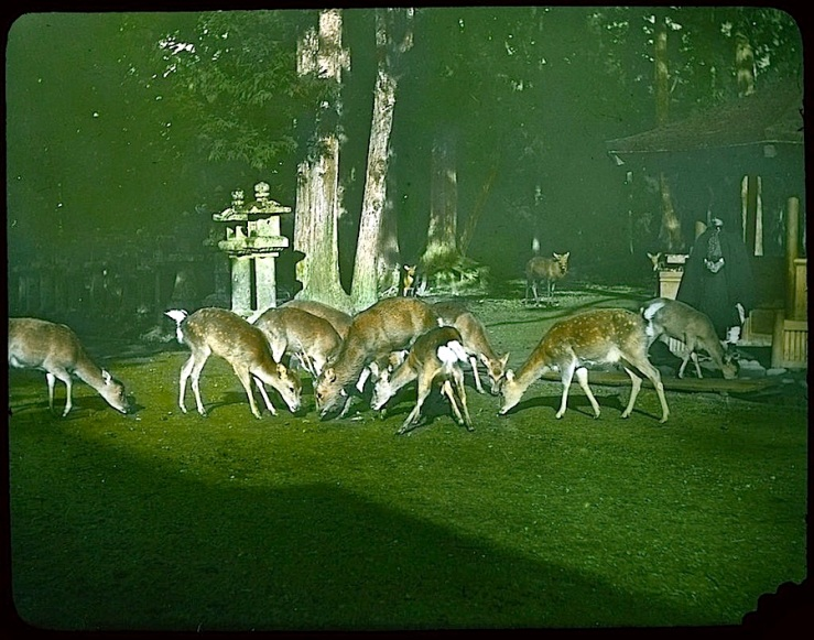 deer in cemetery garden 2, Japan, 1910, U.ofVictoria, flickr