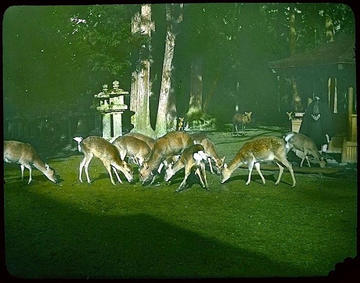deer in cemetery garden 2, Japan, 1910, U.ofVictoria, flickr