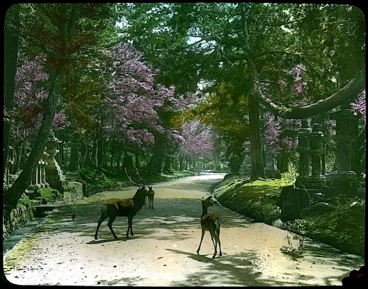 deer in cemetery garden, Japan, 1910, U.ofVictoria, flickr