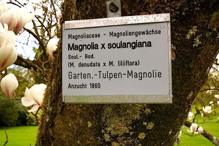 M. soulangiana1, enclos*ure