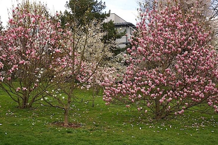 Magnolias, enclos*ure