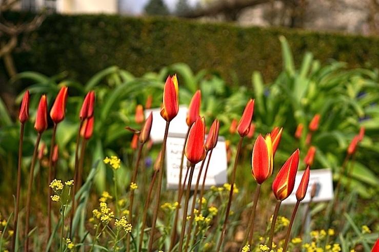 Tulipa Clusiana 20, enclos*ure