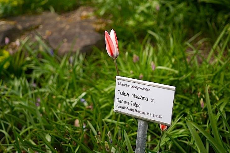 Tulipa clusiana 4, enclos*ure