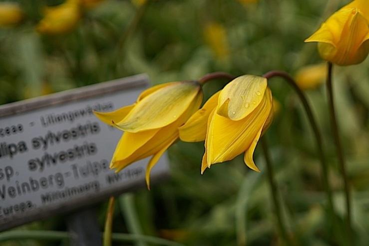 Tulipa Silvestris 4, enclos*ure