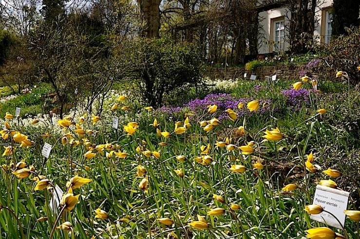 Tulipa Silvestris view12, enclos*ure