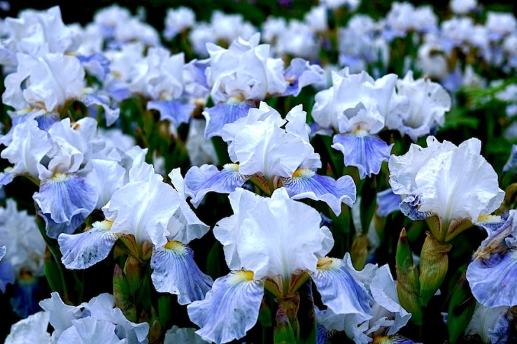 Iris Barbata-Media-Grpuppe 'Antarctique'