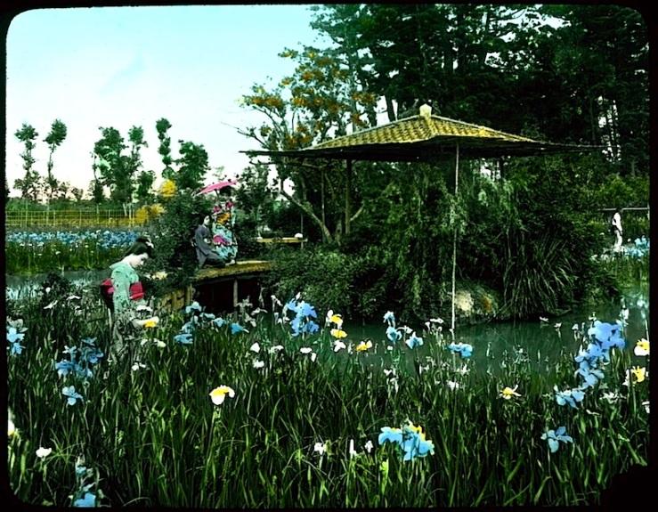 Iris garden, Japan, University of Victoria Libraries
