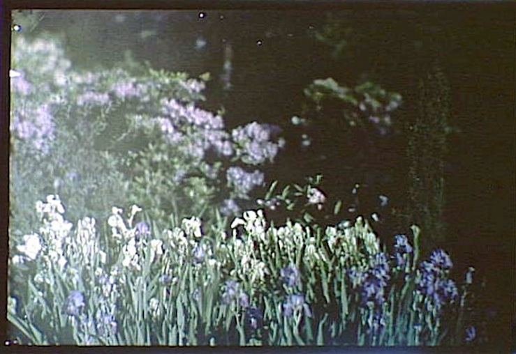 Irises, A. Genthe, Library of Congress