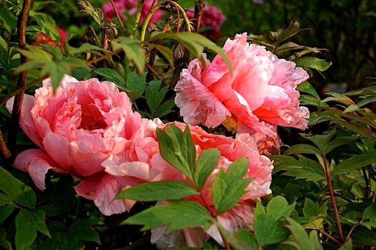 Paeonia-Suffruticosa-Hybride 'Yoshinogawa'