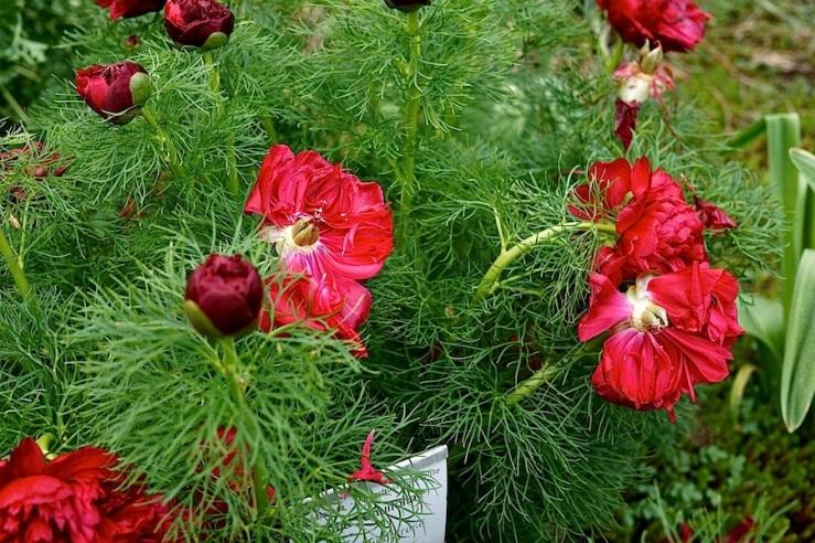 Paeonia tenuifolia 'Plena'