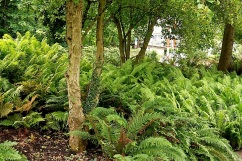 The back of the garden with ferns and paperbark maples.