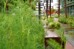 Dill in the south-side area.