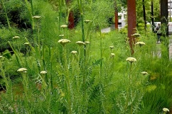 And most of the plants were healthy and full. Achillea millefolium.