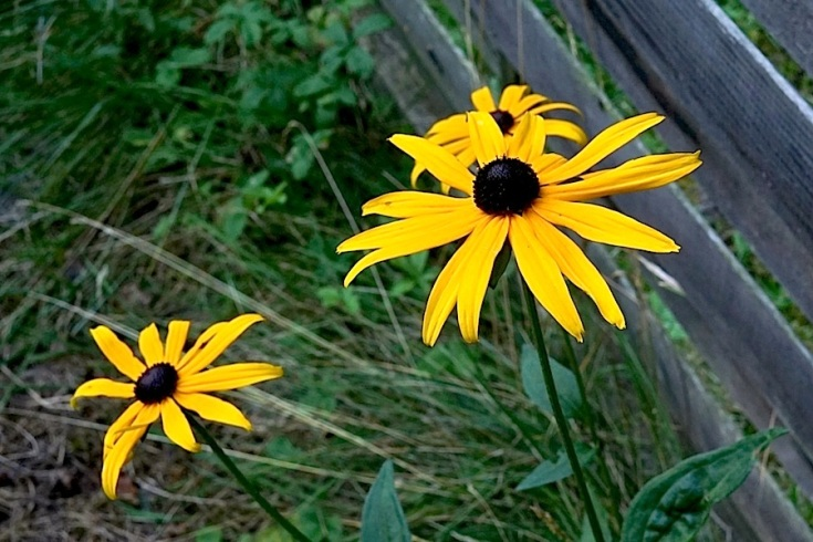 A single self-sown black-eyed Susan.