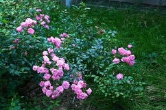 The little 'Fairy' rose started slowly but is now covered in blooms.