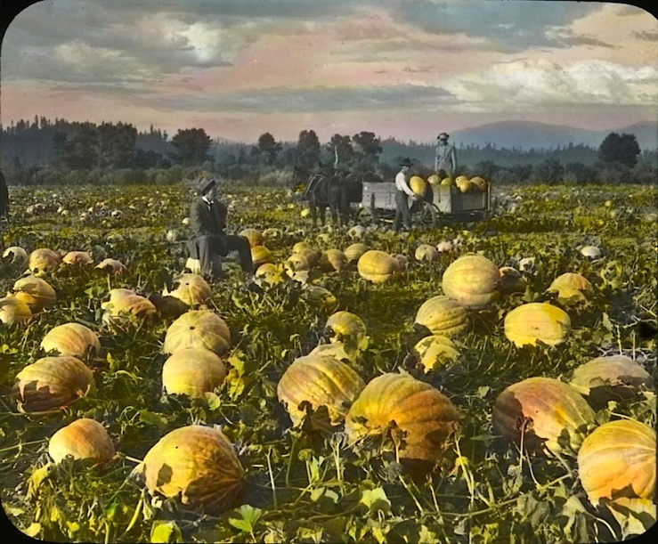 Pumkins in field, Oregon, OSU on flickr