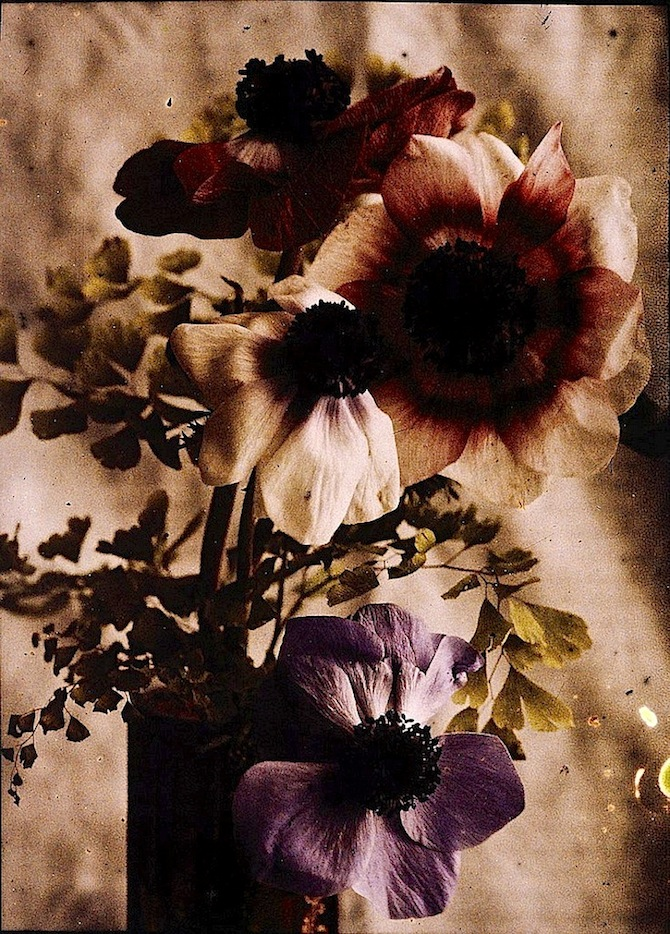 purple-autochrome-flowers-j-jaderstrom-sweden-via-tekniska-museet